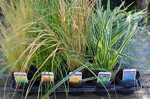 15 Winter Grasses for in 10.5cm pots