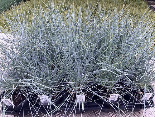 15 Festuca 'INTENSE BLUE' Grasses in 10.5cm pots