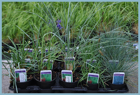 15 Grasses - Cool Blue Collection in 10.5cm pots