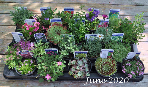 20 Mixed Alpines in 9cm pots