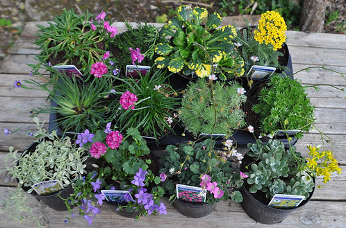 12 Large Mixed Alpines in 1 litre pots