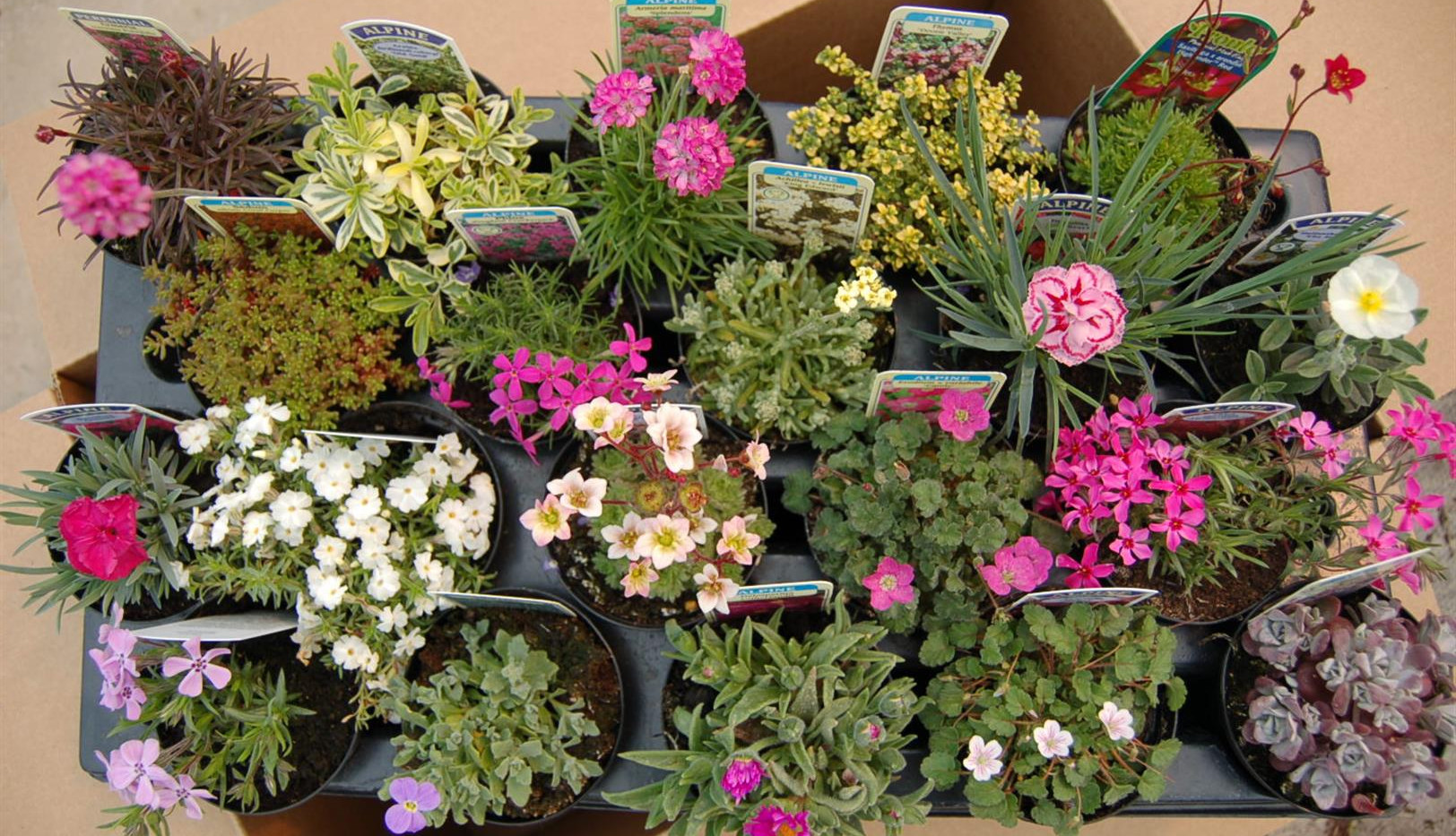 Mixed Alpines