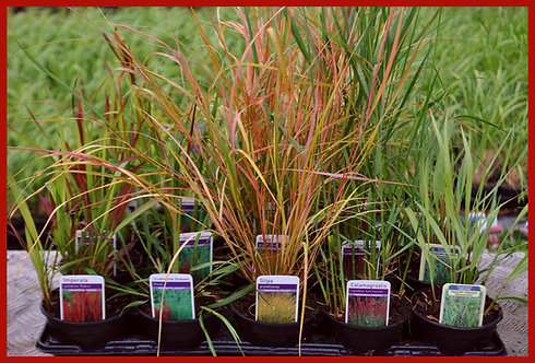 15 Grasses - Spicy Red Collection in 10.5cm pots