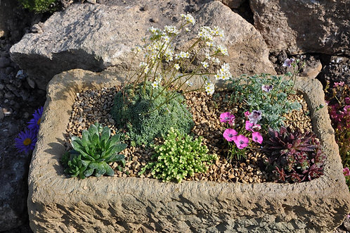 20 Alpines for Troughs and Containers in 9cm pots