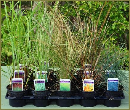 15 Short, Medium and Tall Grasses in 10.5cm pots