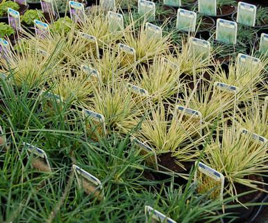 Grasses ready for despatch