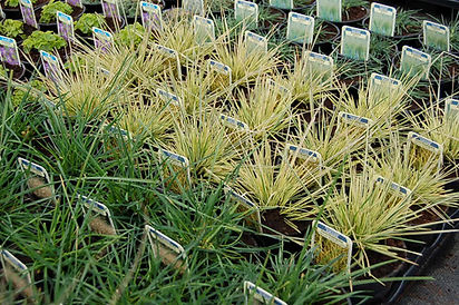 Ornamental Grass Collections, mail order, wholesale, growers, buy now