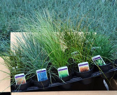 15 Short Grasses in 10.5cm pots