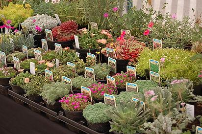 Alpine collections online mail order rocker plants
