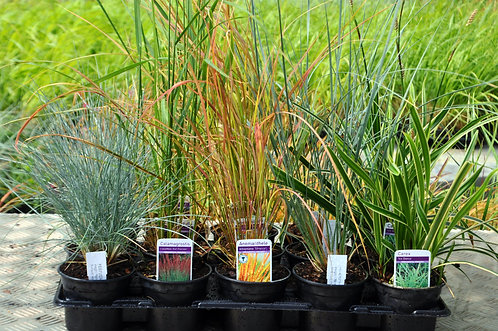 15 Grasses for Containers in 10.5cm pots