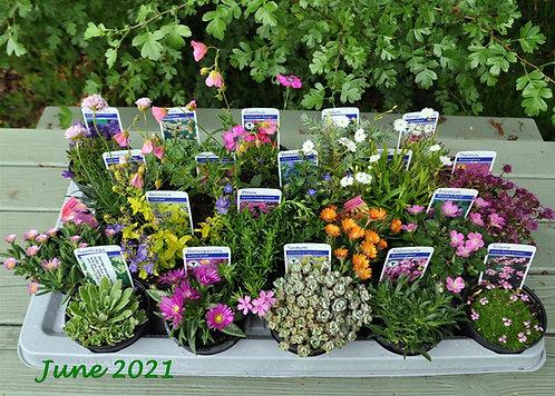 20 Mixed Alpines in 9cm pots