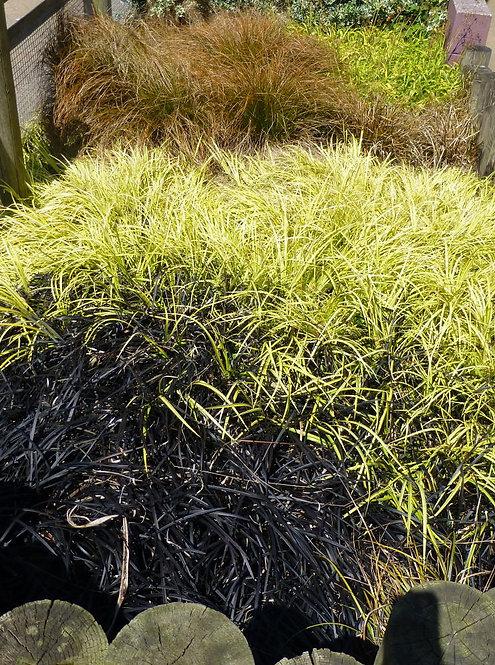 15 Grasses - The Landscaper's Choice in 10.5cm pots