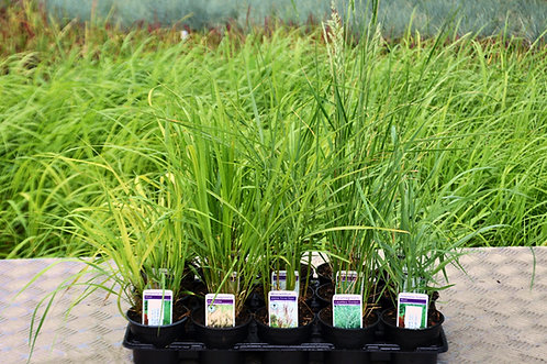 15 Tall Grasses in 10.5cm pots