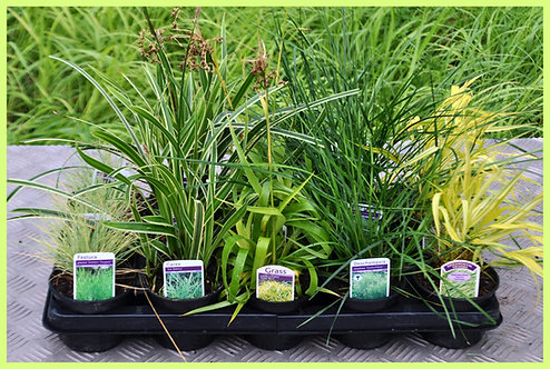 15 Grasses - Laid Back Yellows Collection (PART SHADE) in 10.5cm pots