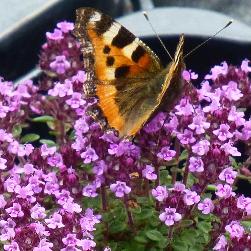 20 Alpines for Pollinators in 9cm pots