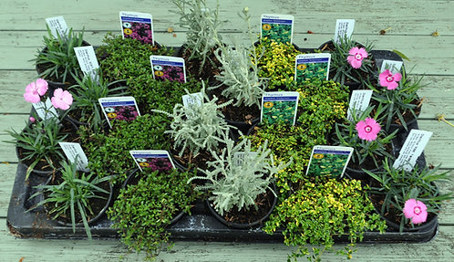 20 SCENTED Alpines for fragrance in 9cm pots