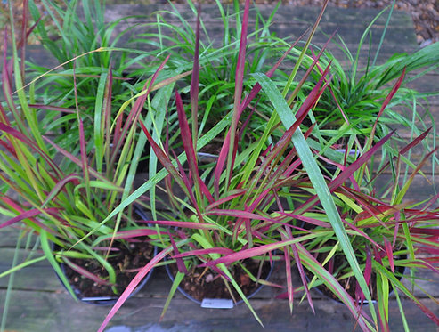 6 Grasses for Part Shade in large 3 LITRE pots