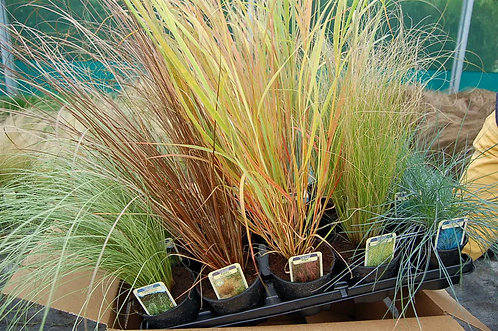 15 Short Grasses in 10.5cm pots