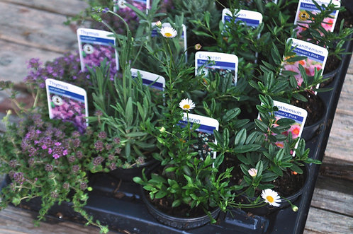 20 Alpines in 9cm Pots for a Mediterranean design