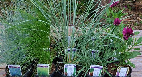 Plants for a Seaside Design in 10.5cm pots