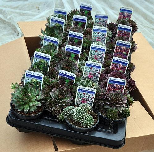 20 Mixed Sempervivum in 9cm pots