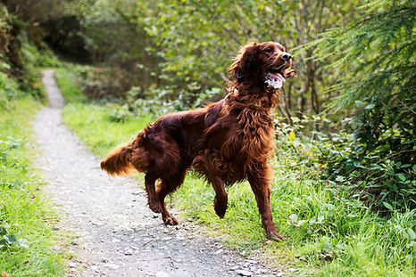 The Cornish Dog_Irish Setter Walk_09.jpg