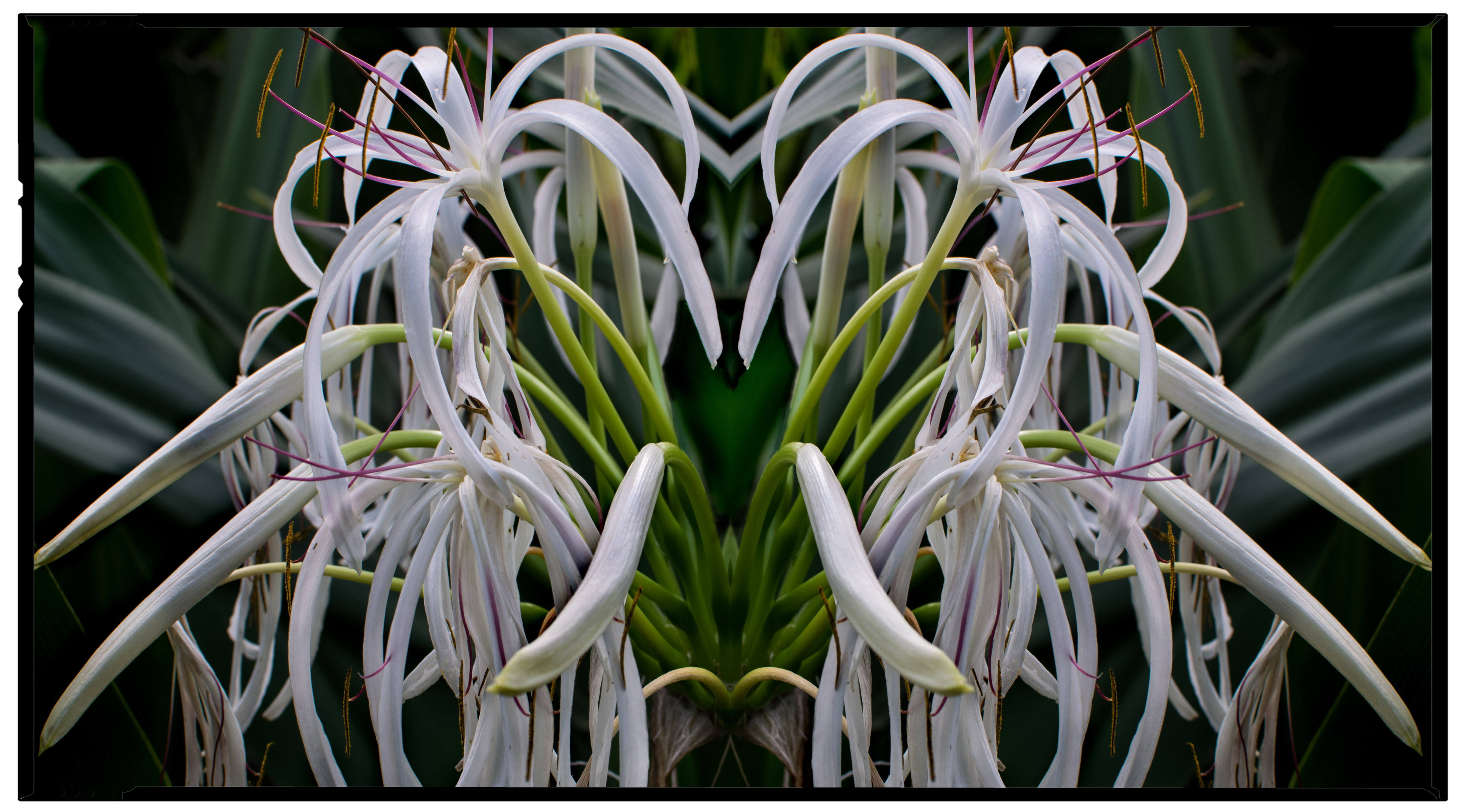Drooping Crinum