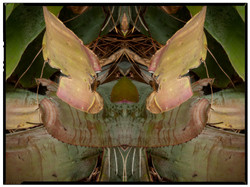 Clown Bromeliad