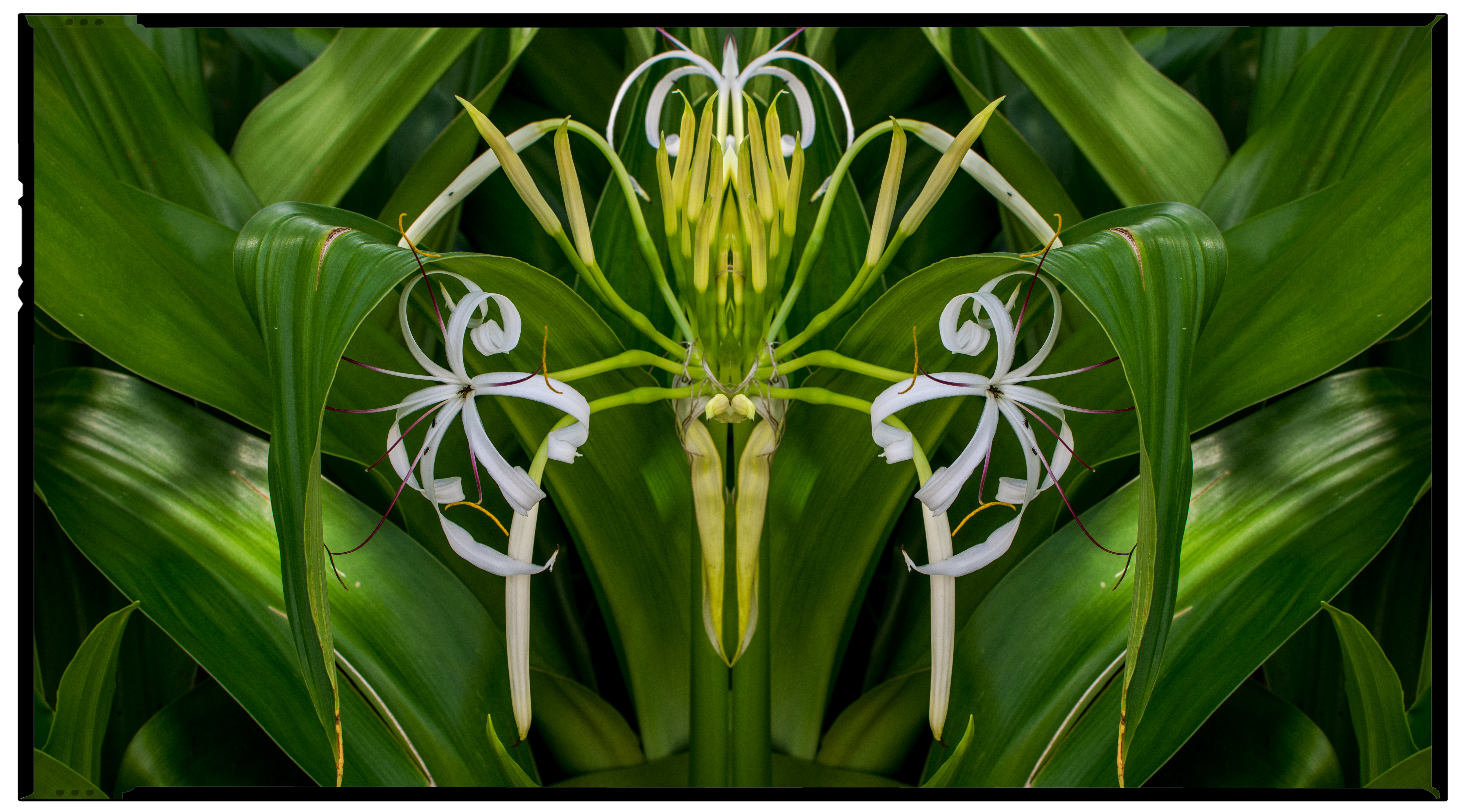 January -Two Lillies
