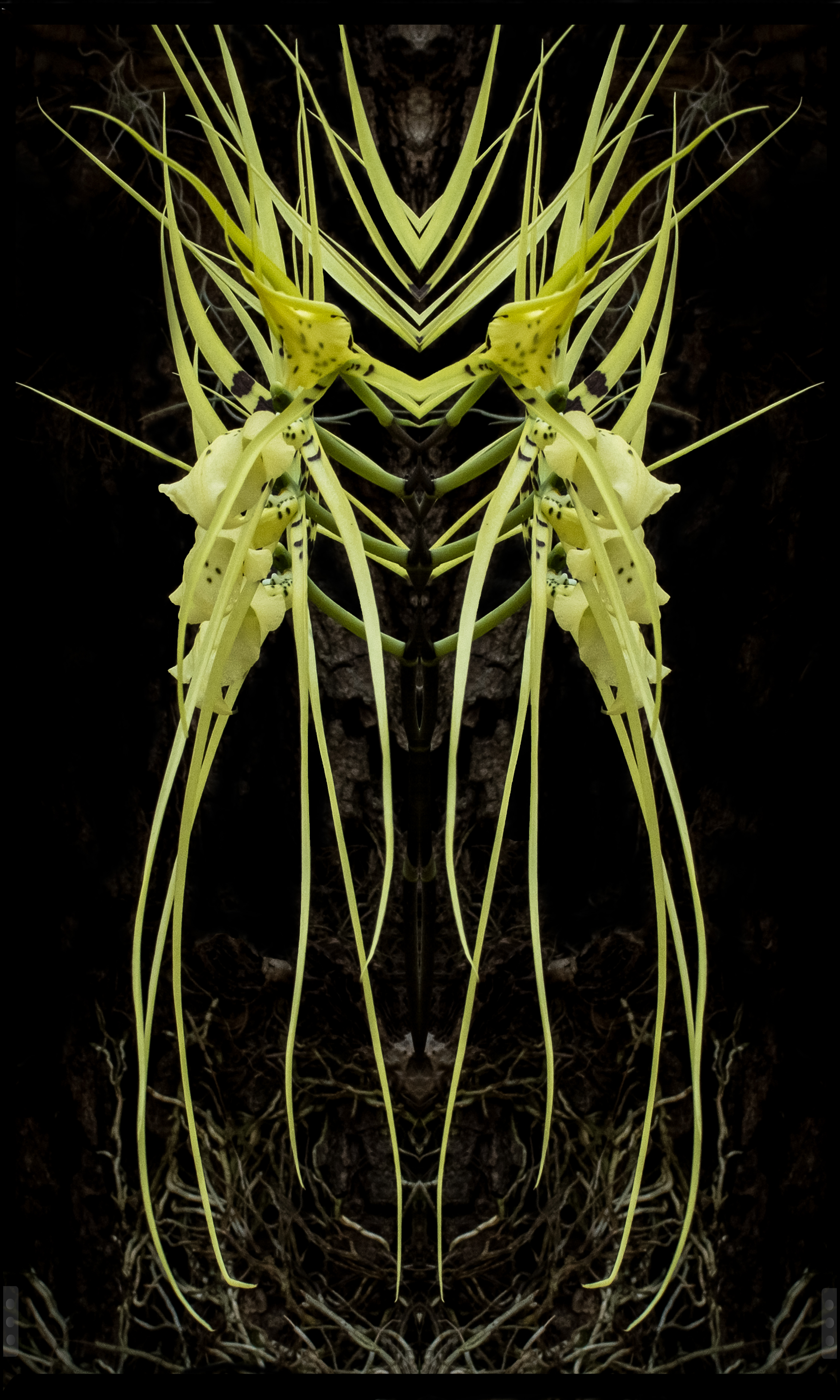 Double Spider Orchid