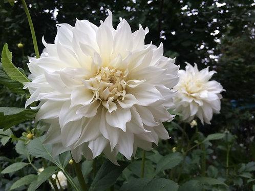 White Alva