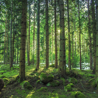 pine-trees.jpg