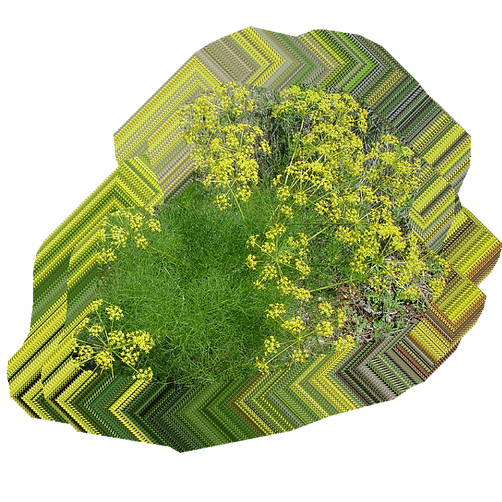 Foeniculum vulgare.png