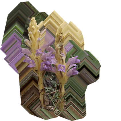 Orobanche arenaria.png