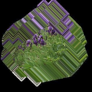Iris germanica.png