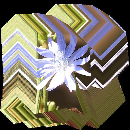 Cichorium intybus.png