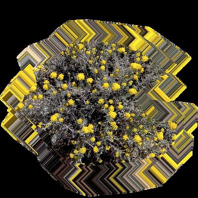 Helichrysum stoechas.png