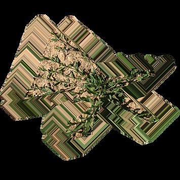 Polygonum aviculare.png