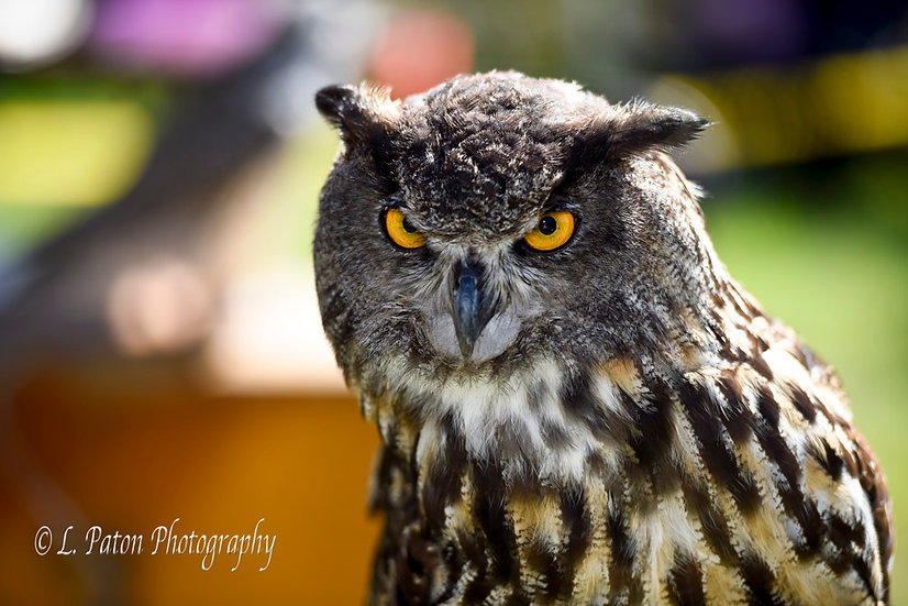 European Eagle Owl 3