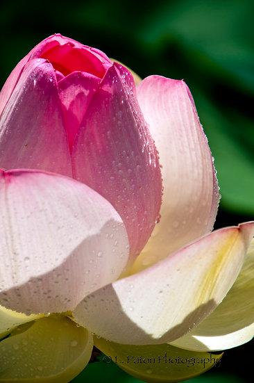 Lotus 10