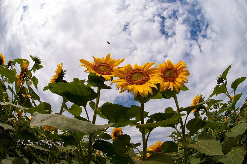 Sunflower Trio 5