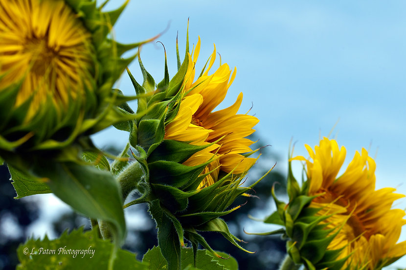 Sunflower Trio 2