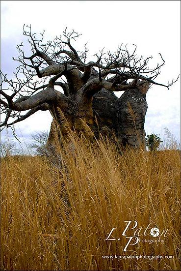 Boabob tree