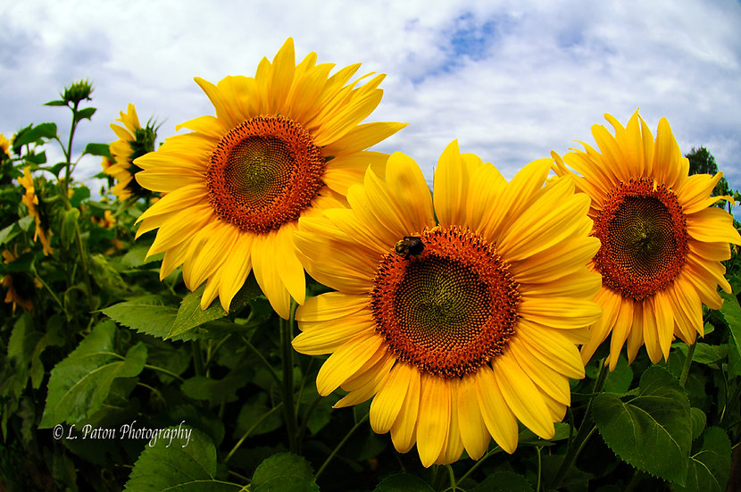 Sunflower Trio 3