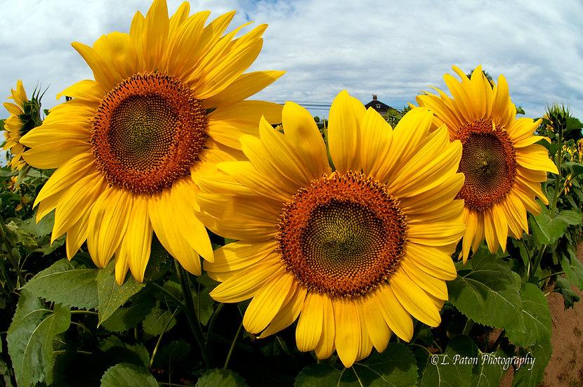 Sunflower Trio 6