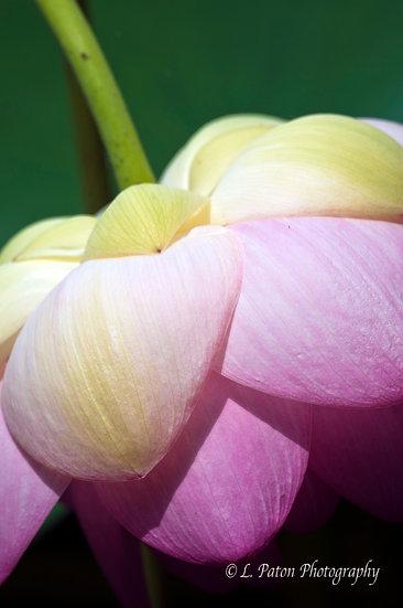 Lotus 14