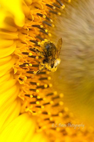 Sunflower Macro 3