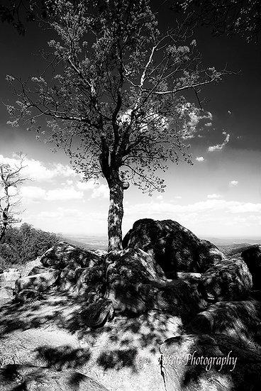 lone tree, Shenandoah National Park