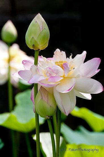 Lotus 13