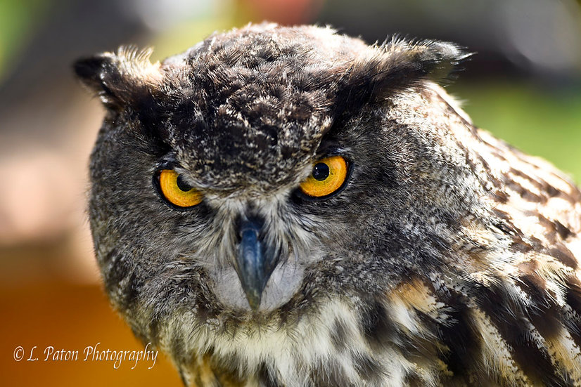 European Eagle Owl 2